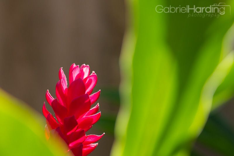 Flowers In The Dominican Republic Beautiful Flowers Pictures Flowers Ginger Flower
