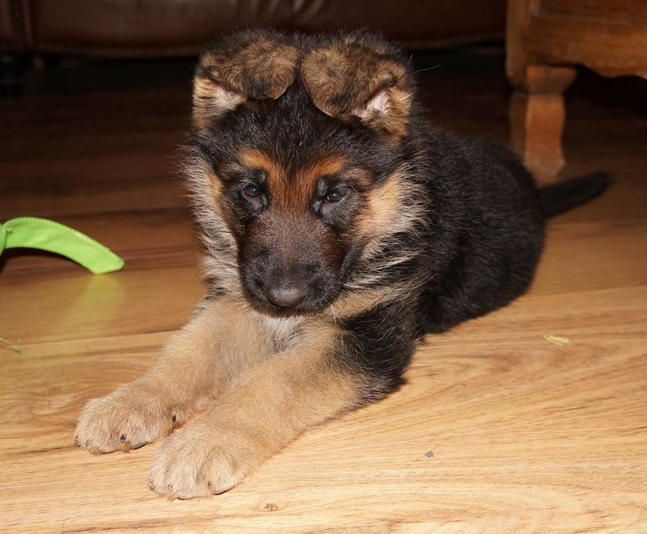V Katra and VA Whisky Female Puppy Born Christmas 2012