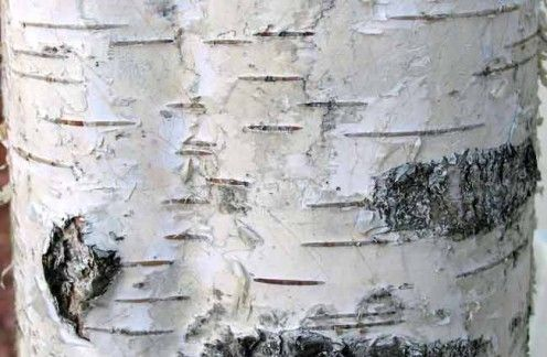 How To Clean Tree Bark Diy Crafts Birch