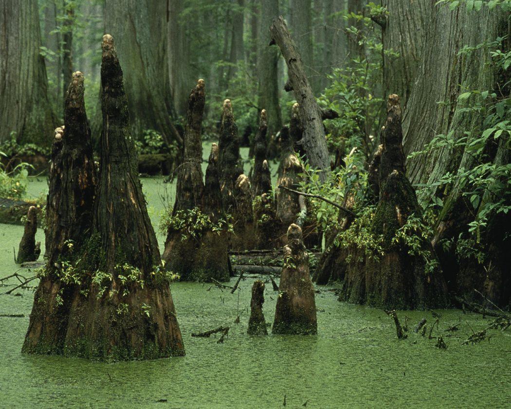 Résultats de recherche d'images pour «knobs cypress swamp»