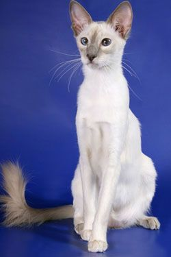 The Balinese Cat An Epitome Of Grace And Intelligence Balinese