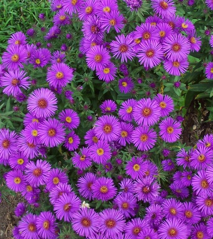 New England Aster Seeds Aster Novae Angliae In 2020 Aster Flower Flower Seeds Online Flower Landscape