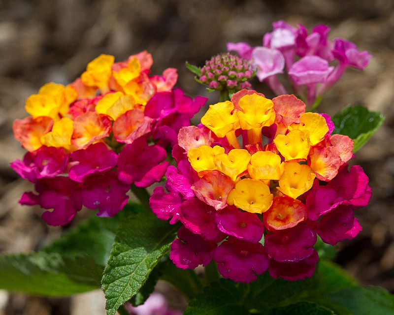 Lantana Sunrise Rose Photo Tricia Photos At Pbase Com Flower Pots Lantana Plant Lotus Flower Seeds