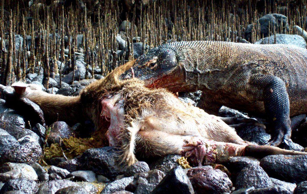komodo dragon eats the timor deer guts komodo dragon varanus