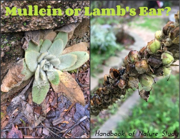 Lambs Ear Vs Mullein