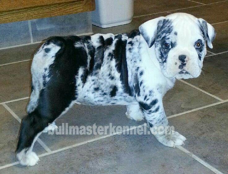 Tri Merle Mini Bulldog English Bulldog Puppies Cute Baby