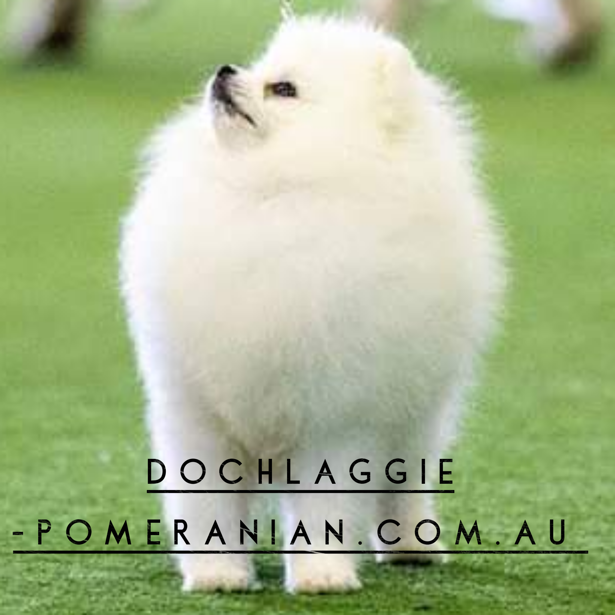 Dochlaggie Pomeranian Puppies Melbourne Dochlaggie Dochlaggiepomeranians Pomeranians Pomeranian Pomeraniandog With Images Pomeranian Pomeranian Puppy Puppies