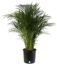 7 Best Indoor Plants For Asthma Allergy Sufferers And Air Pollution Live Indoor Plants Palm Plant Best Indoor Plants