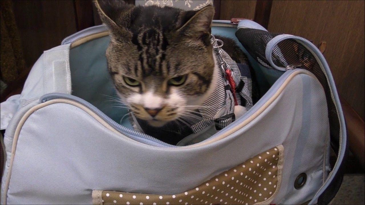 激おこ猫リキちゃんは猫パンチがキレッキレ 動物病院へ通院するキジシロ猫 ゴジラ猫 ミニラ猫 怒る猫 リキちゃんねる 猫動画 Cat Videos 猫パンチ 猫 キジトラ猫