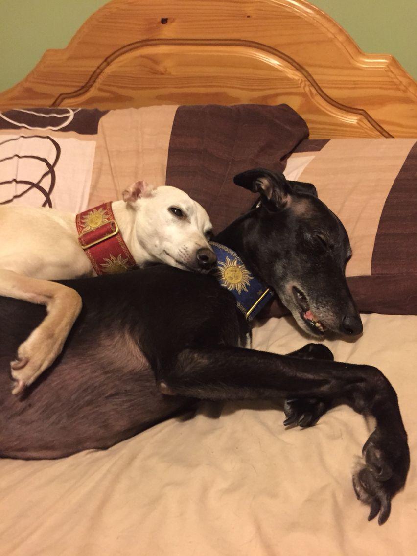 Whippet cuddles! Zara and Zac
