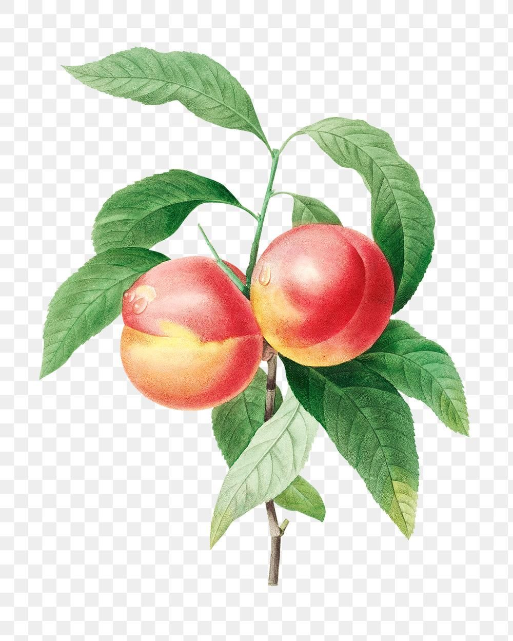Peaches On A Branch Sticker Overlay Design Resource Free Image By Rawpixel Com In 2020 Overlays Free Illustrations Botanical Illustration