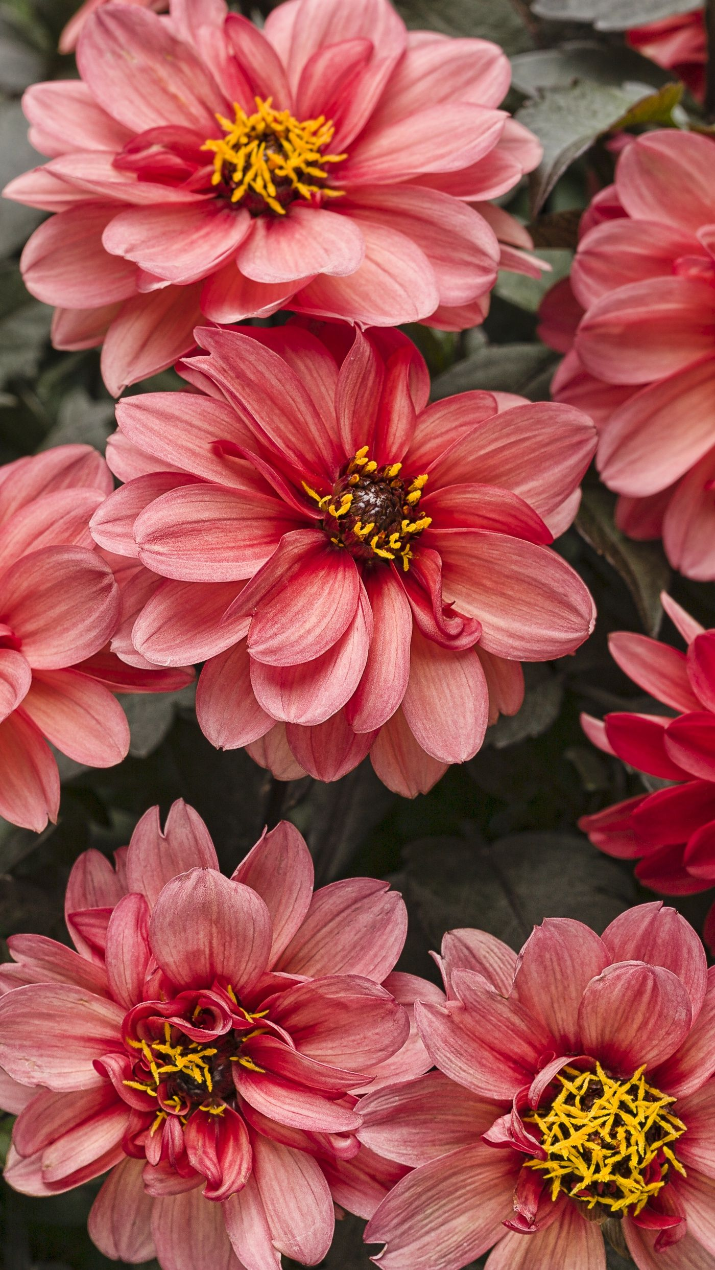 Dahlightful Sultry Scarlet Dahlia