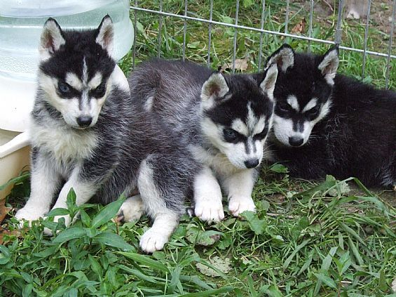 Siberian husky for sale in ny