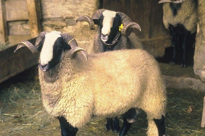 race ovine Bizet   SHEEP BREEDS   Pinterest