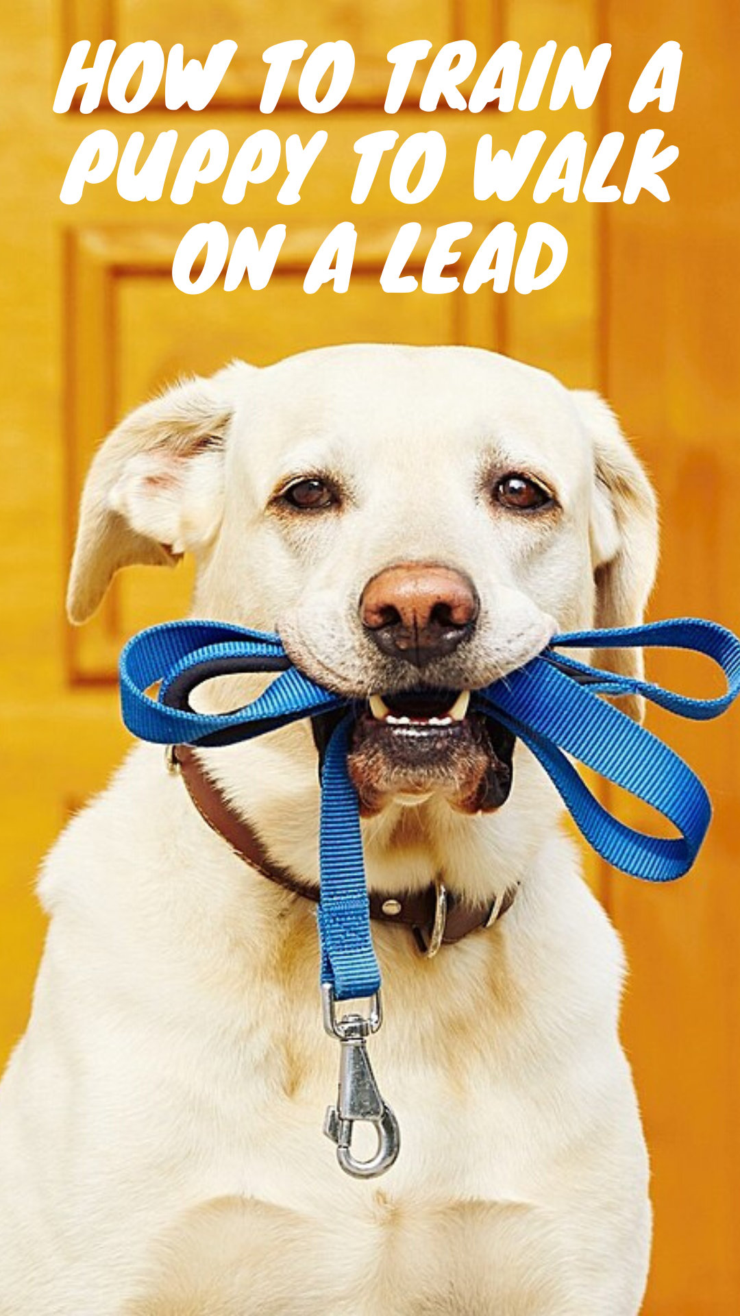 How To Train A Puppy To Walk On A Lead In 2020 Puppy Training Dog Quotes Training Your Dog