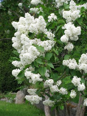White Lilac Bush Lilacs Sommer Koselig