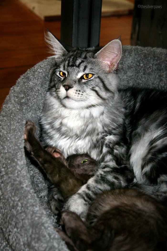 Pin on A חתולי מיין קון 3