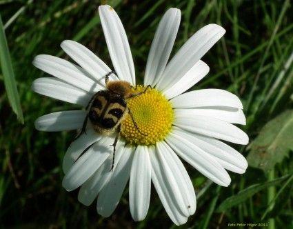 bee beetle on daisy