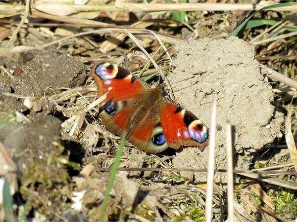 Den smukke sommerfugl, Dagpåfugleøje nyder det gode vejr Langfredag i Onsild ådal, Hobro. (Foto: Niels Marius Andersen, Hobro. © Brugerbillede)