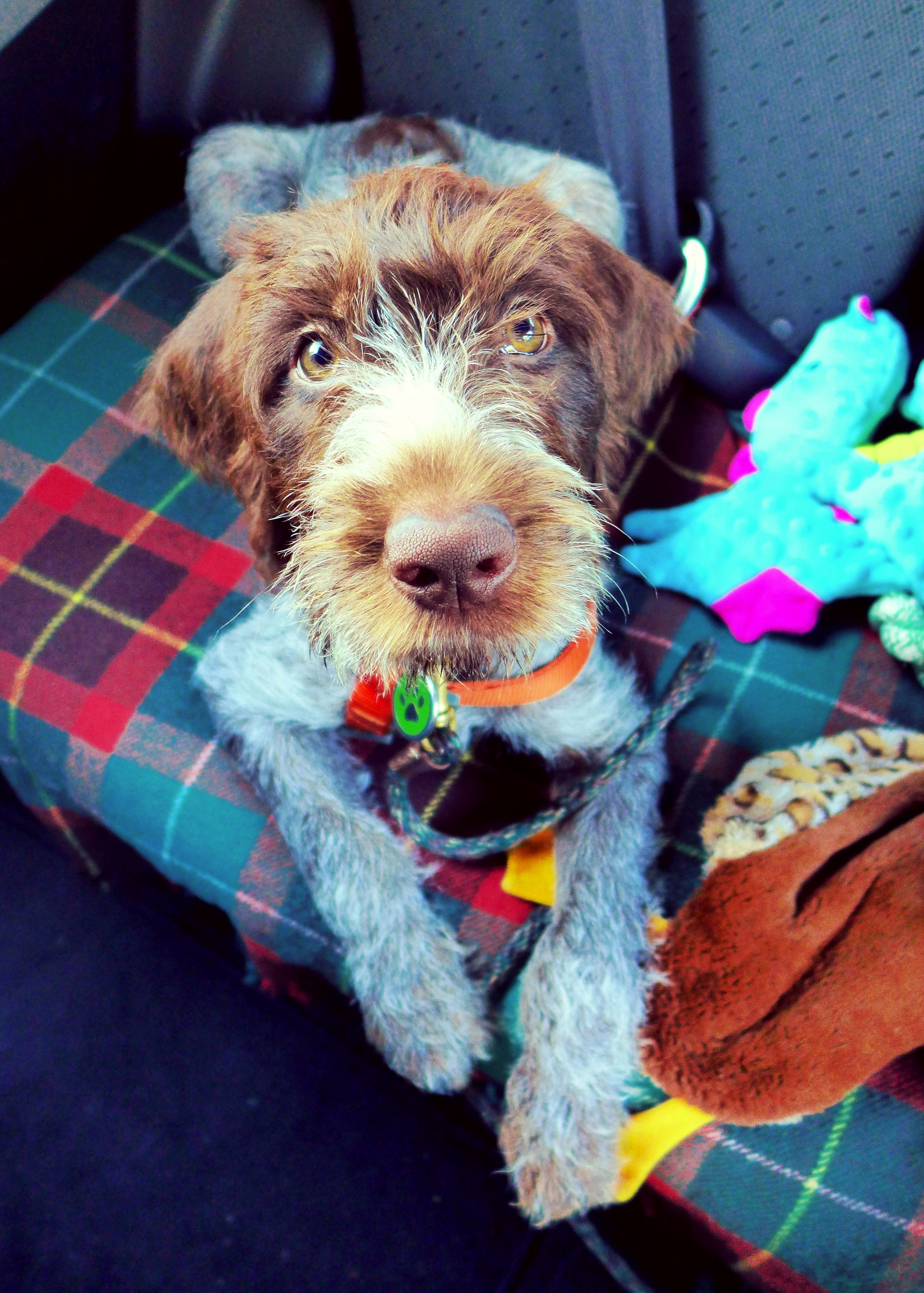 Wirehaired Pointing Griffon. Indy, almost 12 weeks old. | Korthals ...