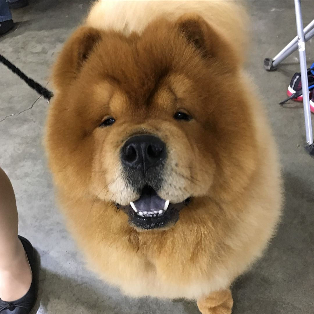 Pin By Deb Phillips On Love Our Chows Chow Dog Breed Chow Chow