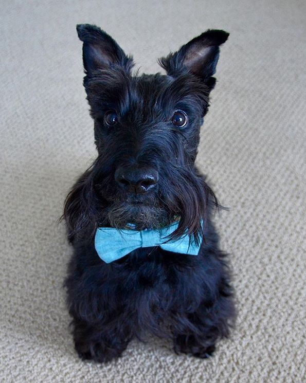 Scottish Terrier Scottie Dog Scottish Terrier Dressed Up Dogs