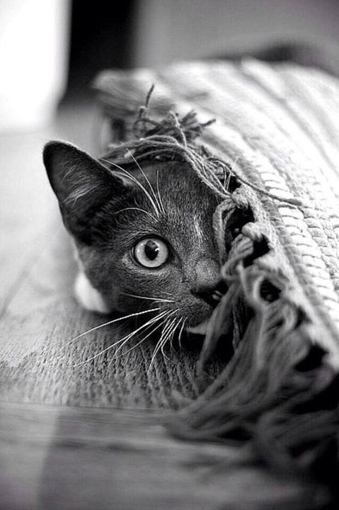 ♔ It's a cats world, kitty, kitten, killing, pet, cute, nuttet, sweet, adorable, playing hide and seek, haha, precious, furry, photo b/w.