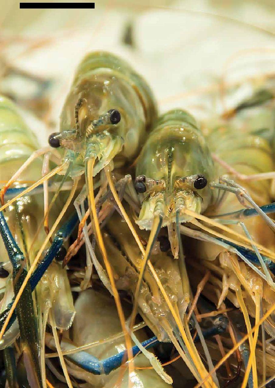 EXPERT TOPIC SHRIMP Aquaculture, Shrimp, Aquaponics