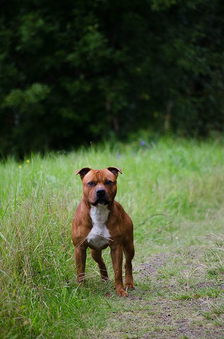 Staffordshire Bull Terrier Scarface Louie Red Staffy Staffy Dog Staffordshire Dog American Staffordshire Bull Terrier