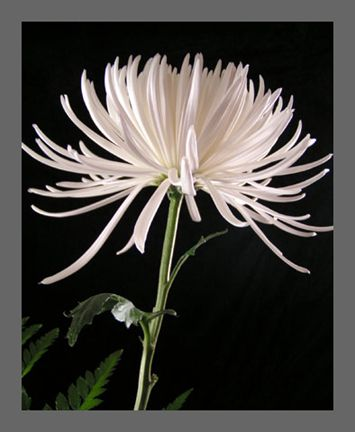 White spider mums pinteres white spider mums more mightylinksfo