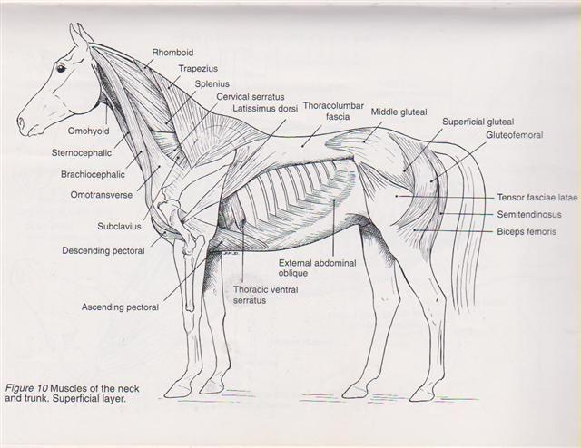 Horse Anatomy Chart | Equine Muscle Anatomy Chart... | horses ...