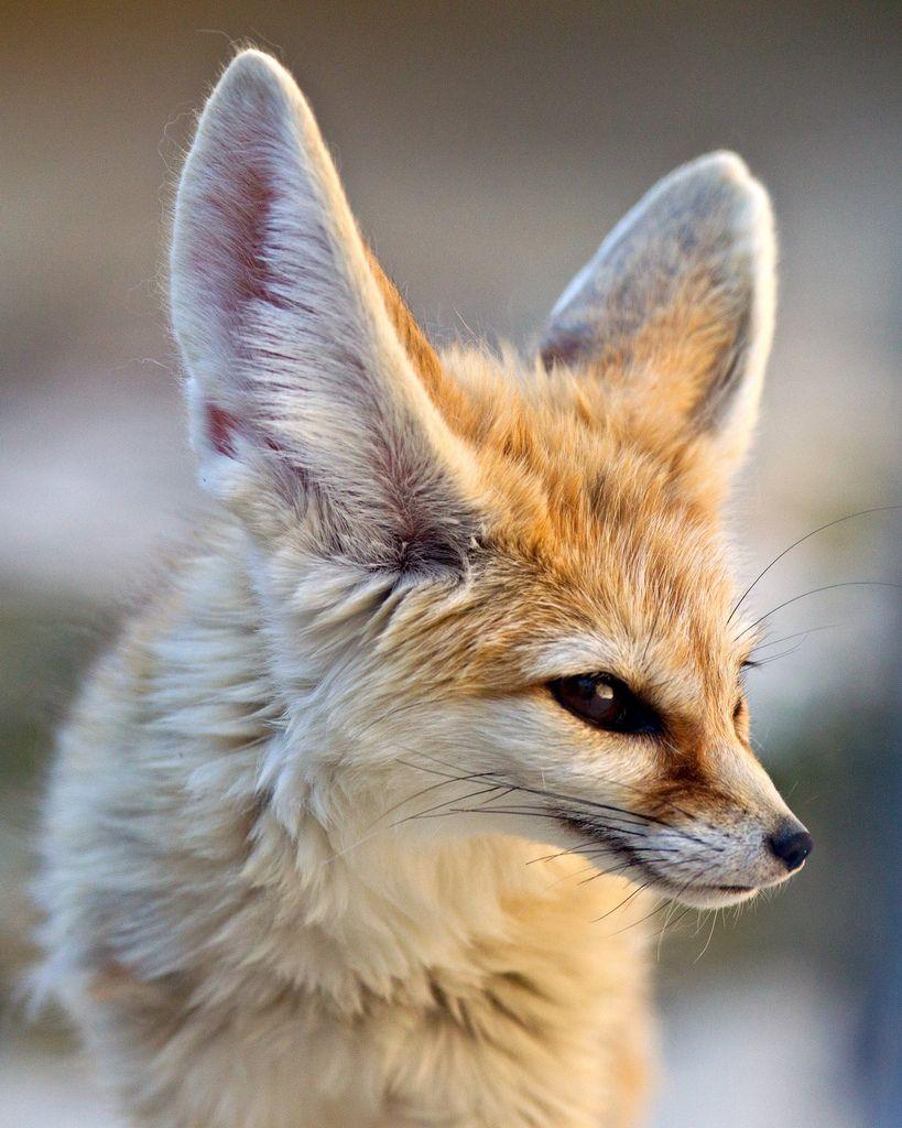 Listening fennec fox vulpes zerda fauna - Pagina da colorare fennec fox ...