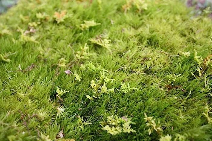 Fields Of Green 5 Favorite Lawn Substitutes Moss Lawn Weeds In