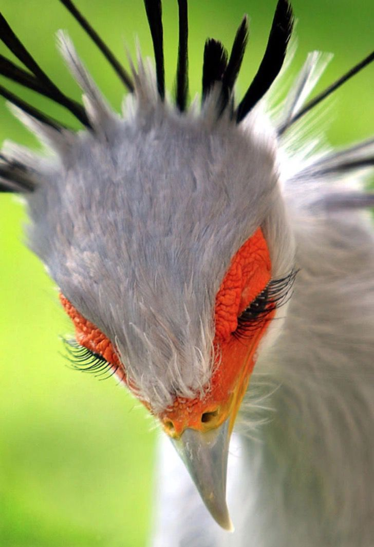 15 fotos del ave secretaria, una especie tan magnífica que Pixar podría usarla para sus películas