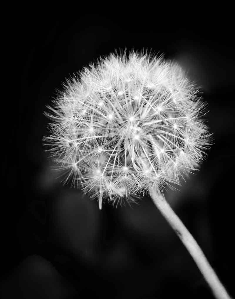 Make A Wish This Black And White Dandelion Photo Would Be Great As Home Decor White Dandelion Macro Photography Flowers Flowers Photography