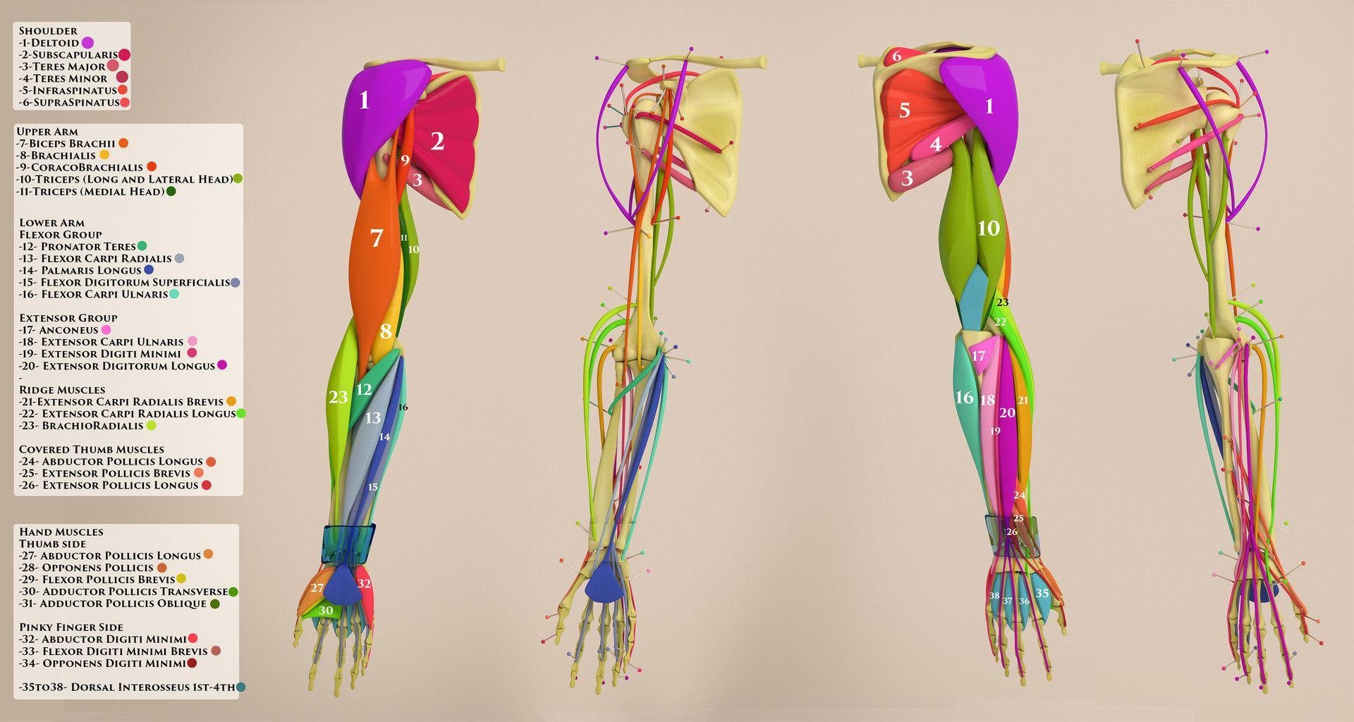 ArtStation - Arm Anatomy Sheet, Aleksandrs K | Anatomy - Human ...