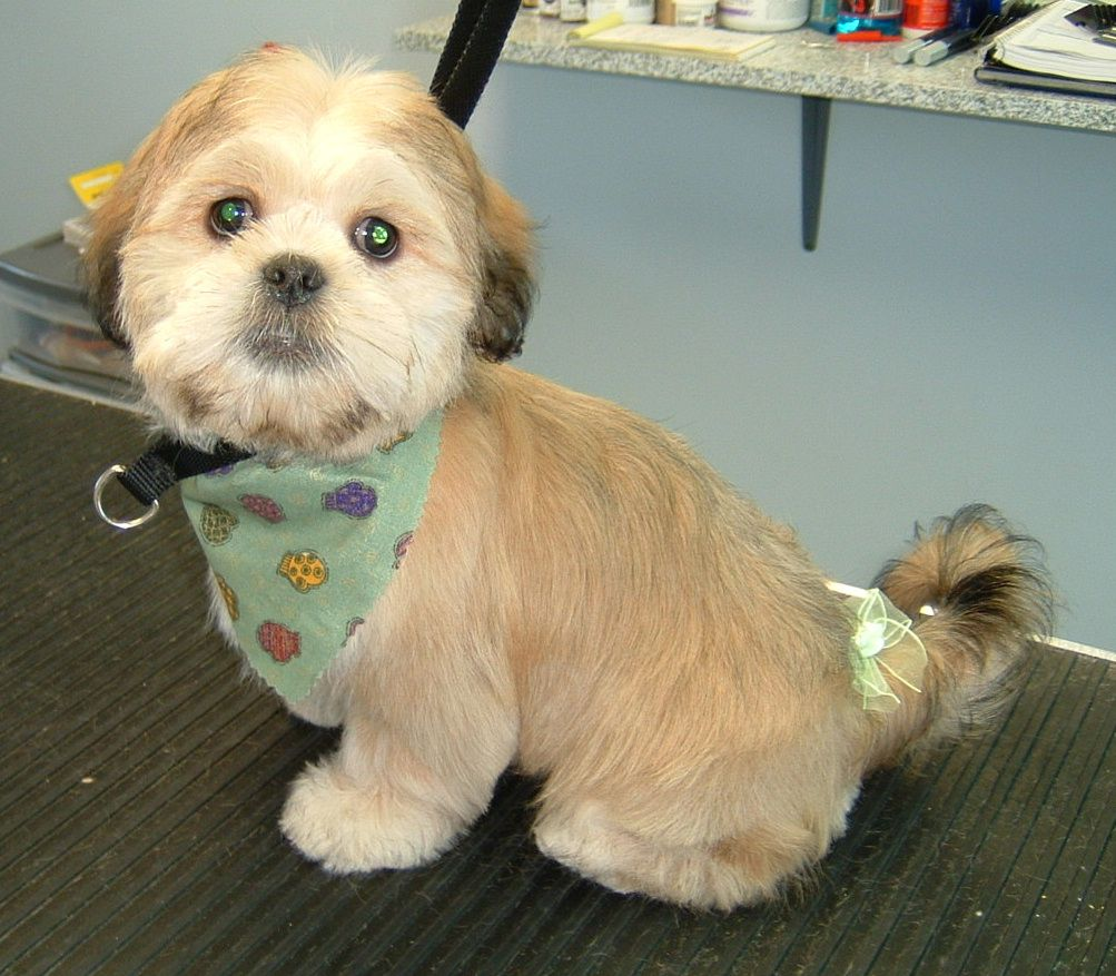 Lhasapoo Haircuts Cute Animal Pictures Lhasa Apso Cute Animals