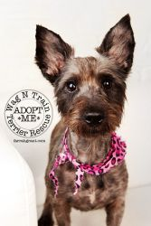 Izzabella is an adoptable Scottish Terrier Scottie Dog in Omaha, NE.  Izzabella is a great girl and will brighten anyone's day. She is super sweet and loves to play...