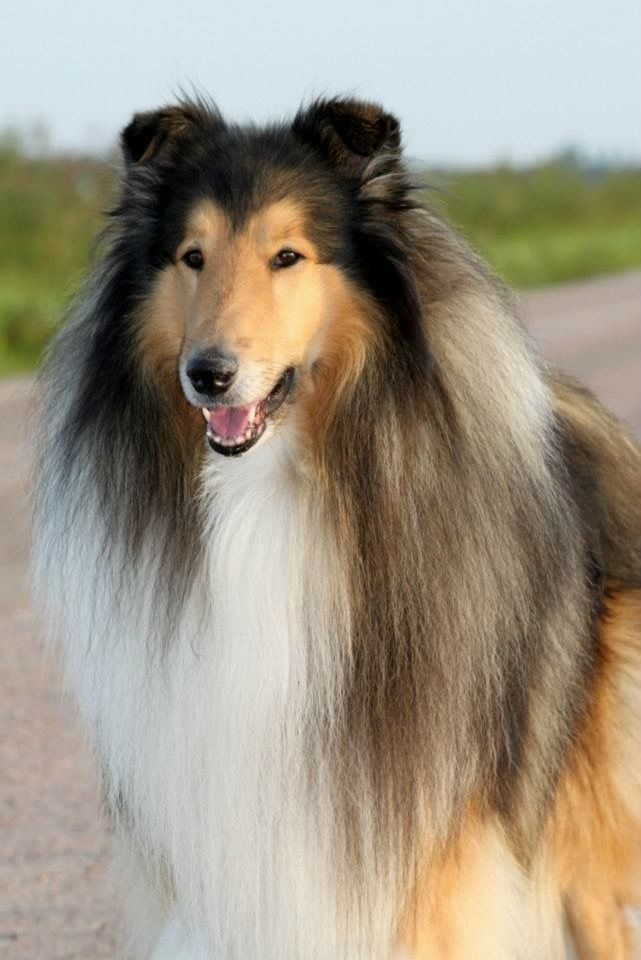 Collie Rough Collie Pets Dogs Breeds Shetland Sheepdog