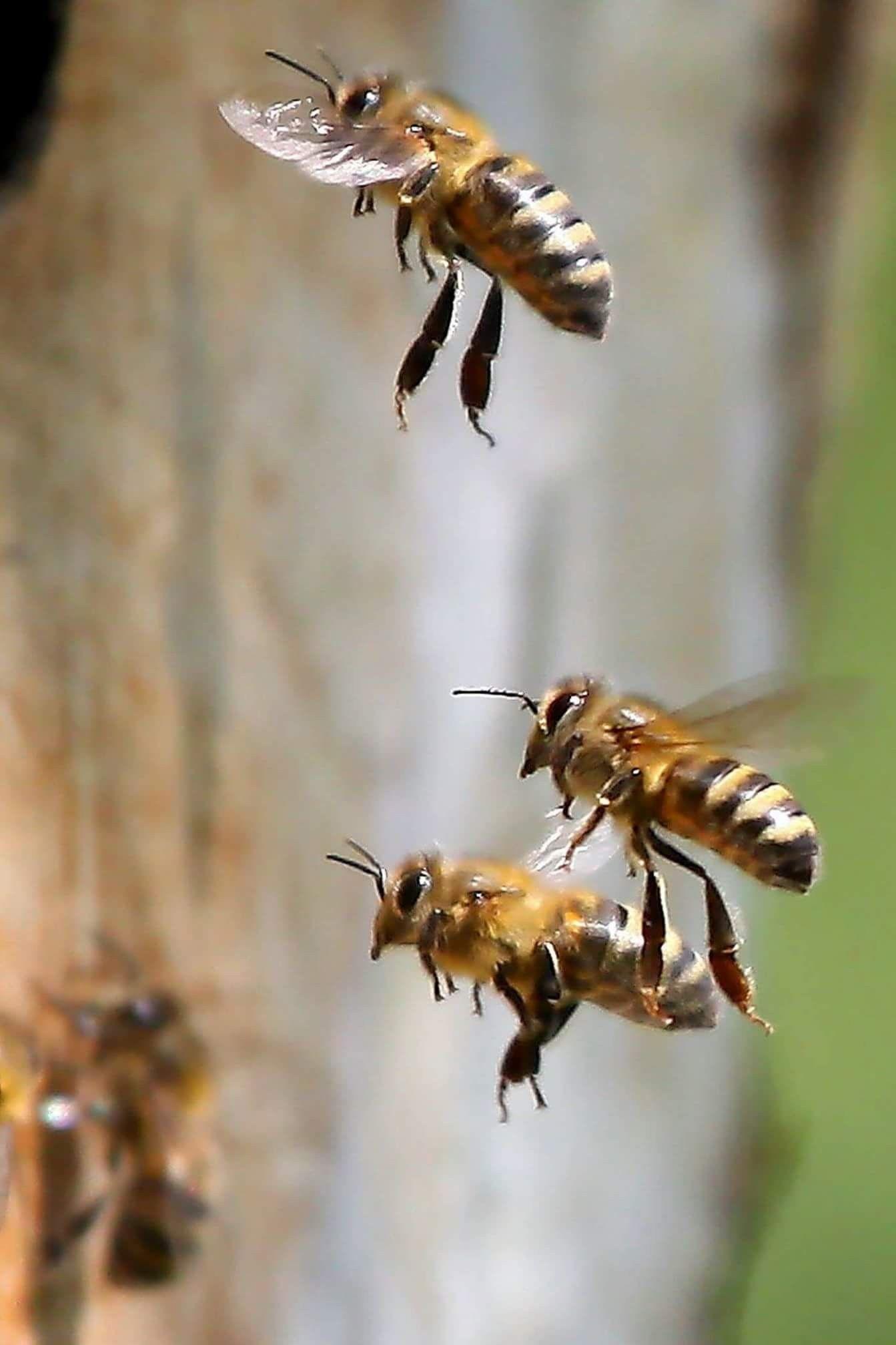 Las abejas obreras pasan su corta vida realizando labores. Sin su ...