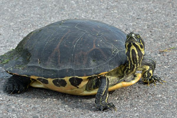 Florida Red-bellied Turtle | Turtle, Freshwater turtles ...