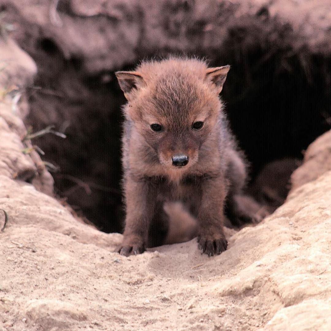 baby coyotes picture - 960×960