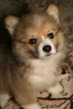 Fluffy Corgi puppy, adorable!