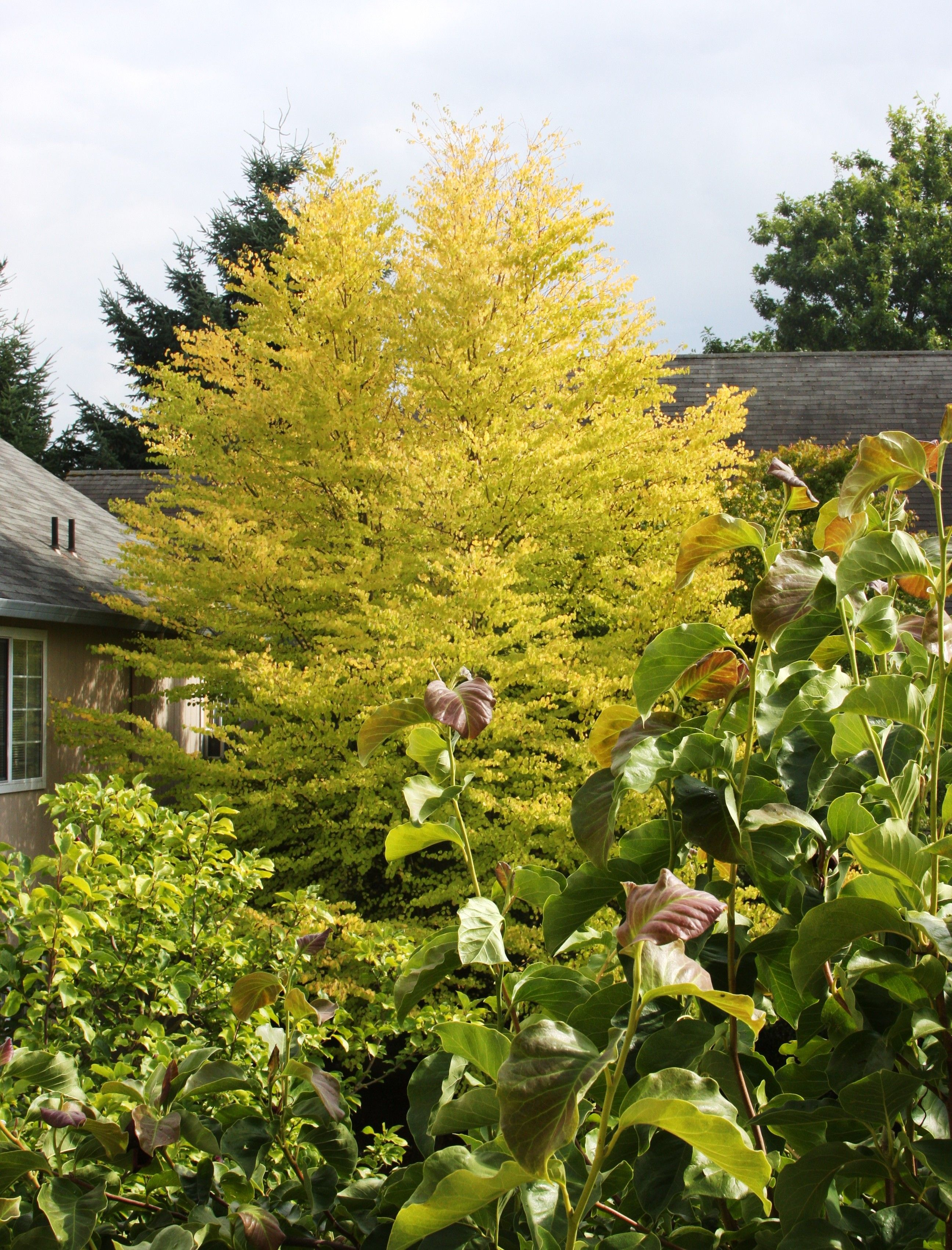 Fall Color In The Foreground A Magnolia X Soulangeana With A