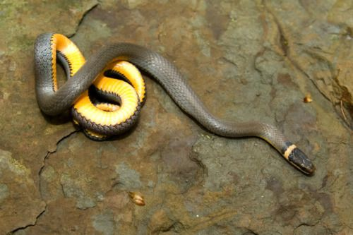 Northern Ring Necked Snake Baby Snakes Snake Reptiles And Amphibians