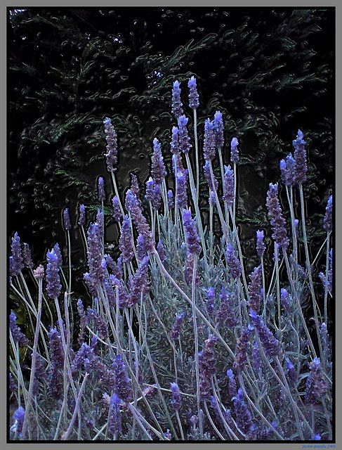~Lavender's Blue~~ by The World Without People, via Flickr