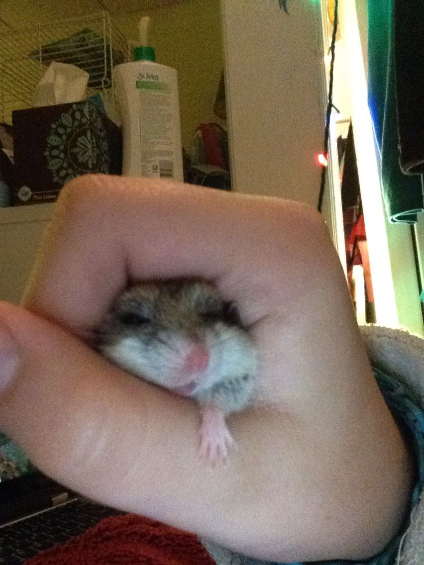 You know you are doing something right when your hamster sleepily lounges in your hands