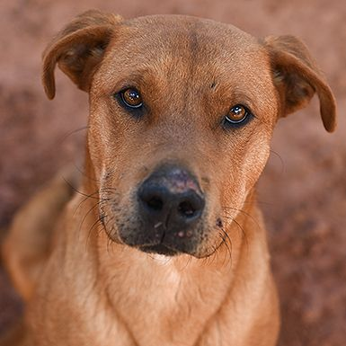 All Adoptable Animals Animals Dogs Labrador Retriever