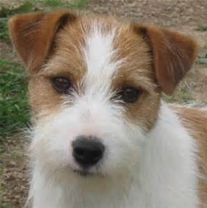 Rough Coat Jack Russell Pictures Bing Images Jack Russell Terrier Puppies Terrier Puppies Jack Russell Dogs