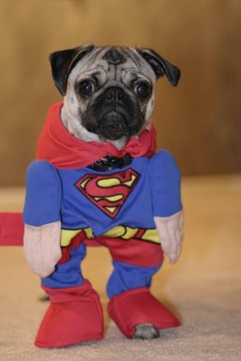 Pug In Superman Costume Animals Pinterest Pugs Puppies And